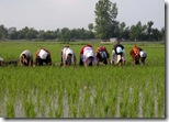 Womenwork_Gilan_Talesh_Rice